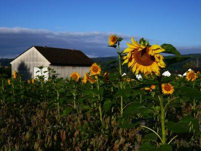 Sonnenblumenfeld-vor-Rodheim